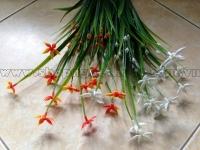 Cỏ sao đêm điểm hoa 5 cánh