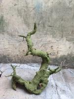 Gốc Bonsai Gỗ Lũa: Thế Mẫu Tử - Mã: TL 31