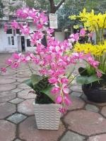 Hoa Lan Hồng - Mã: HPL 163