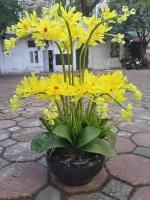 Hoa Địa Lan Vàng - Mã: HPL 164