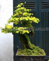 Hoa Mai Vàng trên Gốc cổ Thụ - Mã: HPL 01